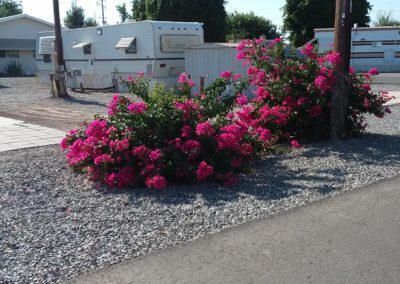 A photograph of bright pink flowers growing on the RV park grounds at Goldwater Estates RV Park. RV homes can be seen in the background.